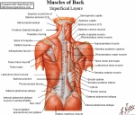 back-muscles8